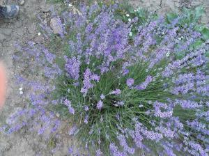 Το αρωματικό φυτό λεβάντα