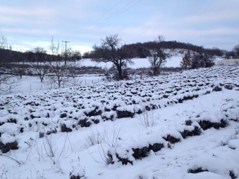 Χωράφι λεβάντας με χιόνι