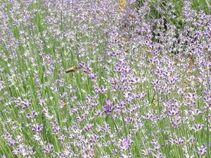 Μέλισσες σε άνθη λεβάντας