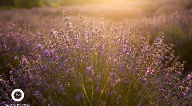 levanta lavenderoil.gr
